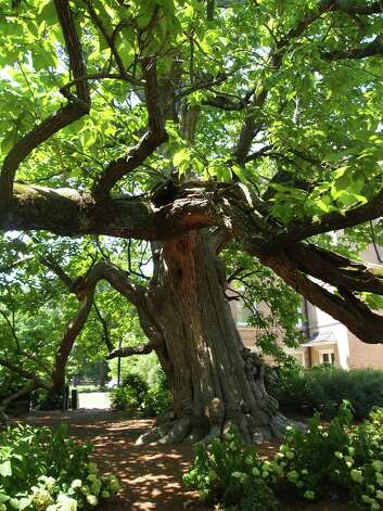The Mississippi champion tree, a majestic northern catalpa, shades the campus of Ole Miss in Oxford, Mississippi. Photo: Forrest Jividen , For The Express-News