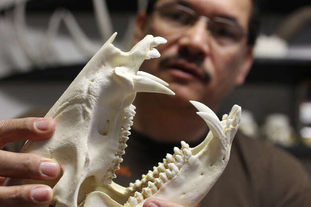 Charles Doria holds the skull of a javelina he cleaned with the use of dermestid beetles that eat the flesh off of dead animals. He keeps his animal skulls and beetles in a large, custom built tank in his workshop at the Elsmere Art Cooperative until all the flesh is eaten off. He sells the skulls at shows and on e-Bay and to some artists. (Thursday March 8, 2012) John Davenport/San Antonio Express-News Photo: JOHN DAVENPORT, SAN ANTONIO EXPRESS-NEWS / SAN ANTONIO EXPRESS-NEWS (Photo can be sold to the public)