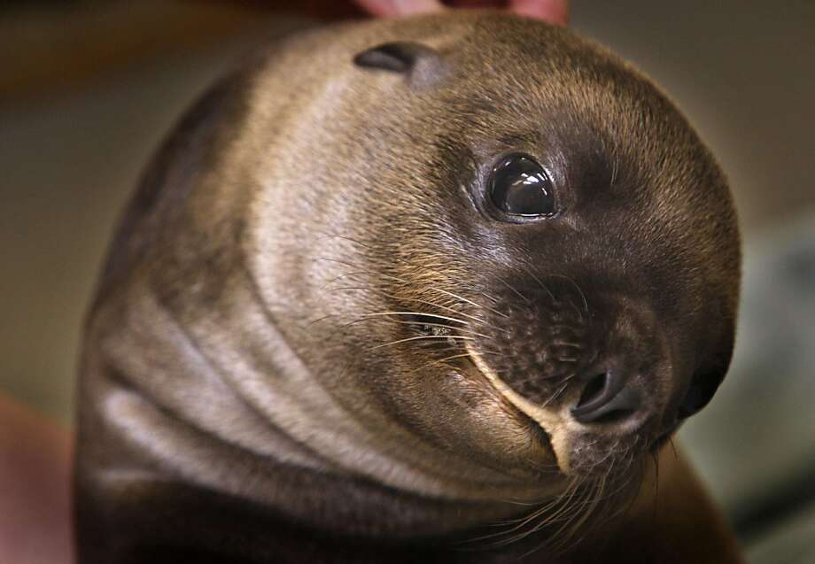 Why, yes, I can make my head rotate 360 degrees like Linda Blair:Teva the sea lion pup twists around for a better look at the Memphis Zoo. Photo: Karen Pulfer Focht, Associated Press