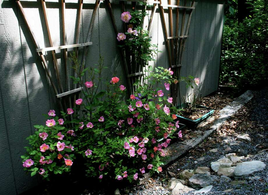 Roses need to be tied to their arbors. (Fotolia.com) Photo: Dean Fosdick
