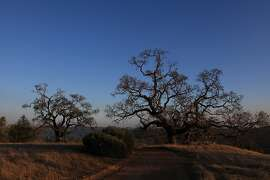 Valley Oak trees are seen along a trail at Henry W. Coe State Park on Tuesday, December 13, 2011 in Morgan Hill, Calif.