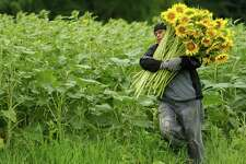 Miguel Soler carries a bundle of sunflowers out of the field at Buttonwood Farms in Griswold, Conn., while a team of volunteers harvest sunflowers Thursday, July 26, 2012 for Buttonwood Farms' annual Sunflowers for Wishes fundraiser. The fundraiser, in it's ninth year, sells bouquets of five sunflowers with the money going to the Make a Wish Foundation.