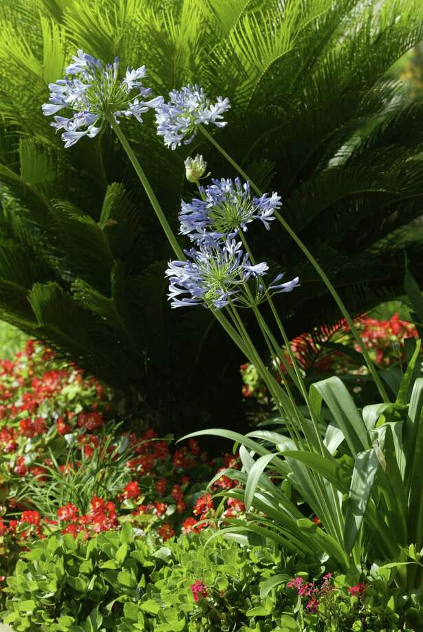 Blue agapanthus pairs well with red begonias. Photo: John Everett / Houston Chronicle