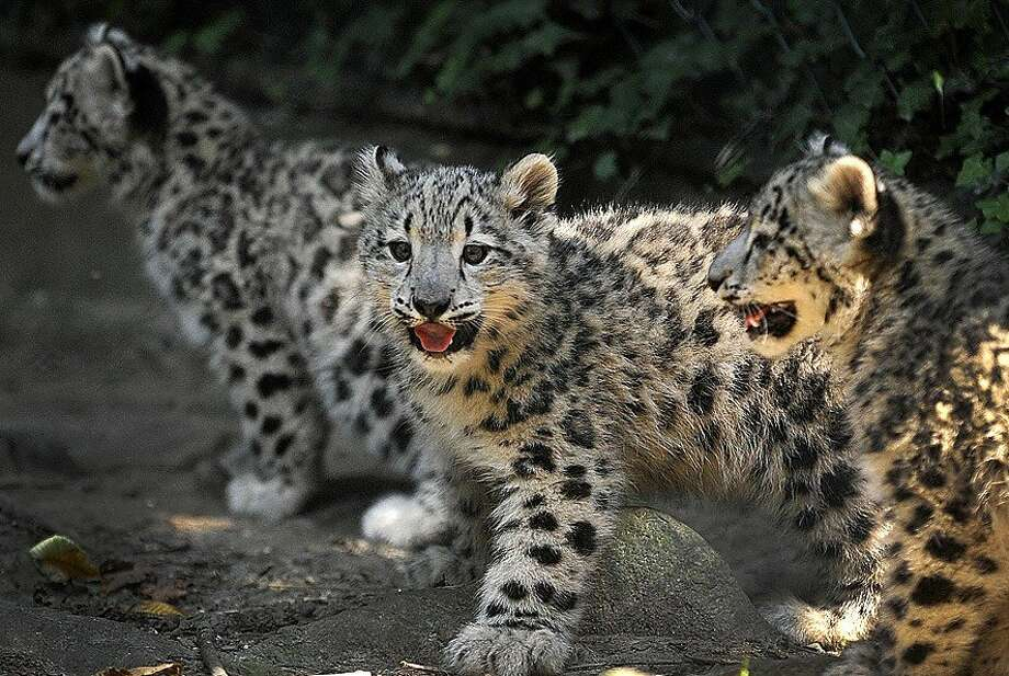 Even though Lion and now Mountain Lion are more up to date, the Wuppertal Zoo in Germany is installing Snow Leopard in its outdoor enclosure. Feline operating systems don't get any cuter than this. Photo: Holger Battefeld, AFP/Getty Images
