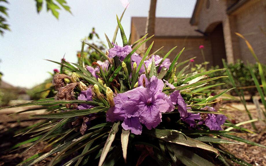 FOR SALIFE - A Ruellia plant in the Rawl's front yard. PHOTO BY EDWARD A. ORNELAS 8-2-99 Photo: EDWARD A. ORNELAS