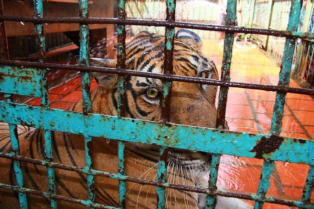 FILE - In this file photo taken on July 4, 2012, a tiger sits in a cage at a tiger farm in southern Binh Duong province, Vietnam.  Conservationists allege that Vietnam's 11 registered tiger farms are merely fronts for a thriving illegal market in tiger parts, highly prized for purported - if unproven - medicinal qualities. (AP Photo/Mike Ives, File) Photo: Mike Ives, Associated Press