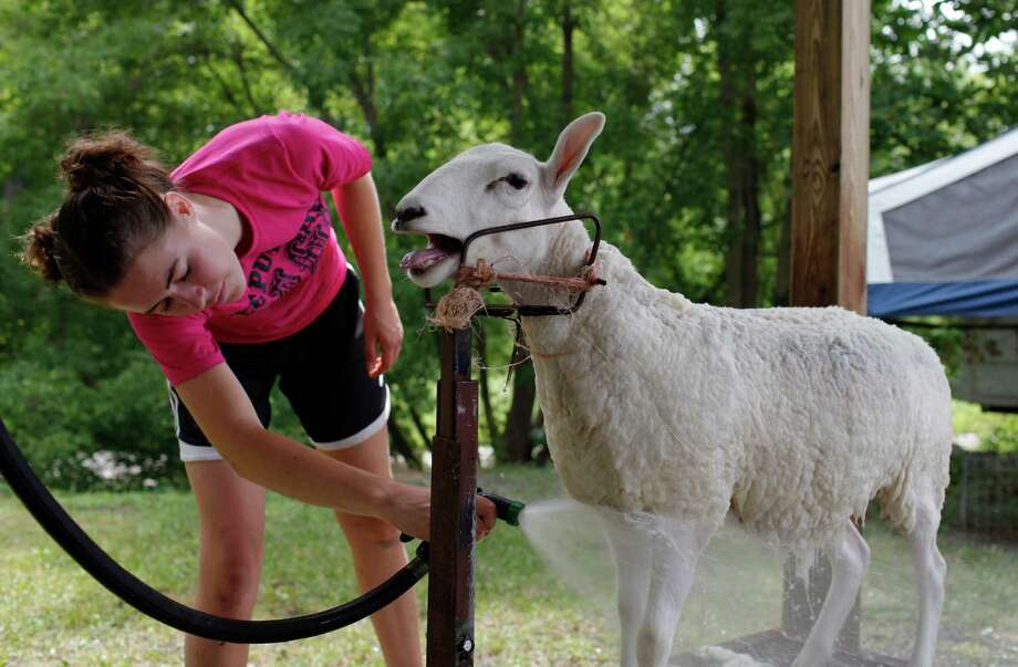 Shannon Spargo of East Berne washes off her lamb Taylor getting ready for showing at opening day at the Schoharie County Fair, Friday July 27, 2012 in Cobleskill, N.Y. (Dan Little/Special to the Times Union) Photo: Dan Little / Dan Little