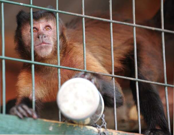 A capuchin monkey checks out visitors at the Ashville Game Farm and Exotic Zoo in Greenwich on Tuesday. (Lori Van Buren / Times Union) Photo: Lori Van Buren / 00018577A
