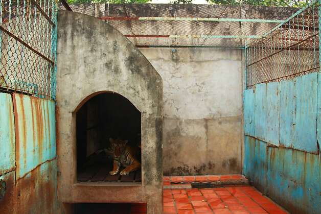 FILE - In this file photo taken on July 4, 2012, a tiger lies in a concrete shelter at a tiger farm in southern Binh Duong province, Vietnam. Conservationists allege that Vietnam's 11 registered tiger farms are merely fronts for a thriving illegal market in tiger parts, highly prized for purported - if unproven - medicinal qualities. (AP Photo/Mike Ives, File) Photo: Mike Ives, Associated Press