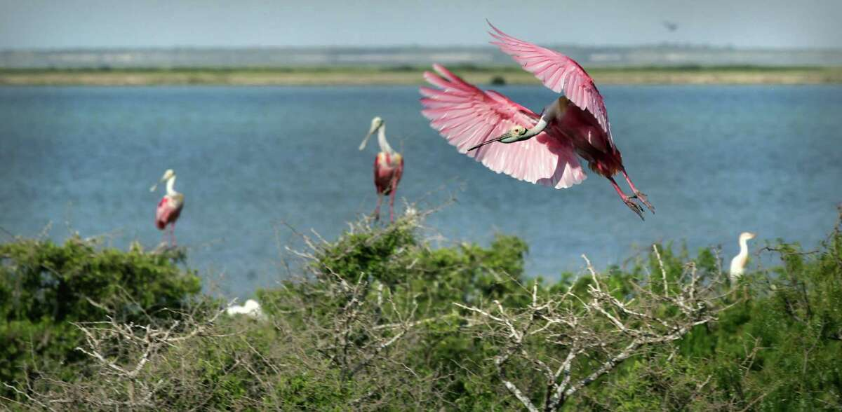 A Roseate Spoonbill compresses the air, slowing him down before landing on a treetop on Green Island in Laguna Madre just off the coast from Port Mansfield, TX. Tuesday, June 5, 2012.