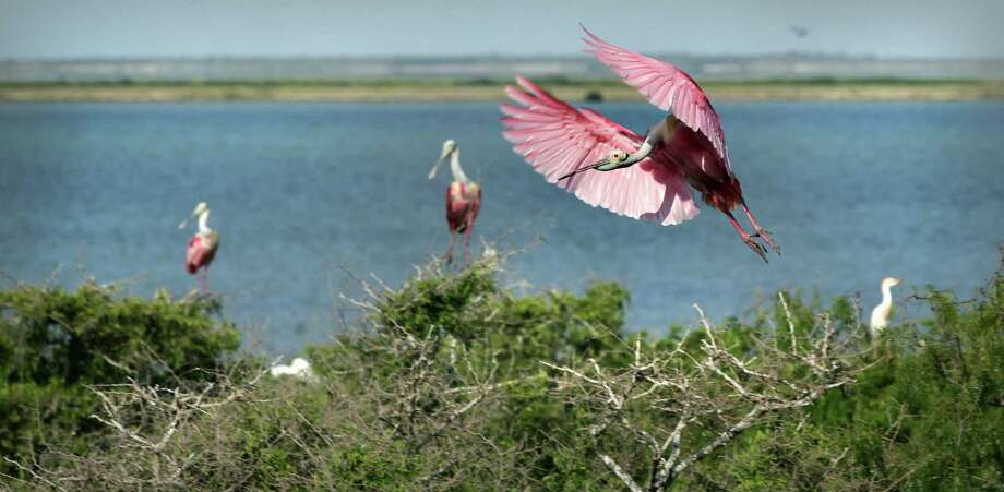 A Roseate Spoonbill compresses the air, slowing him down before landing on a treetop on Green Island in Laguna Madre just off the coast from Port Mansfield, TX. Tuesday, June 5, 2012. Photo: BOB OWEN, San Antonio Express-News / © 2012 San Antonio Express-News