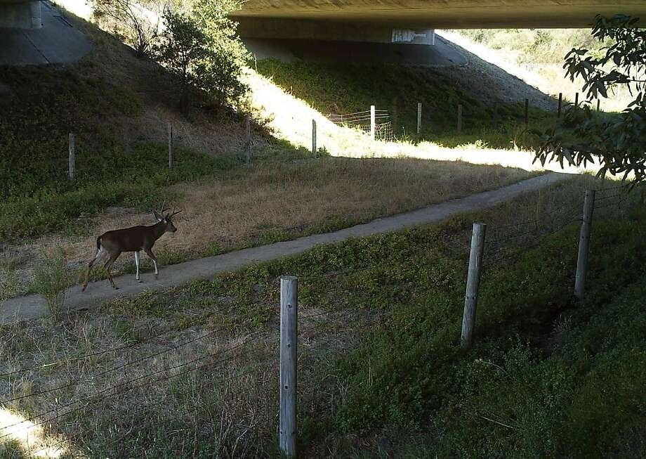 A deer walks on a path below Interstate 280. Photo: Tanya Diamond, UC Davis