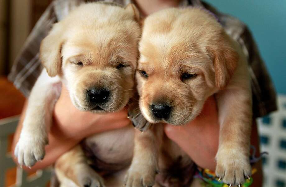 Lab experiment: These two sleepy pups are among eight sired by Sir Lancelot Encore, a golden Labrador that was cloned from breeders Nina and Edgar Otto's beloved Lab, Sir Lancelot, in West Palm Beach, Fla. Photo: Carline Jean, McClatchy-Tribune News Service