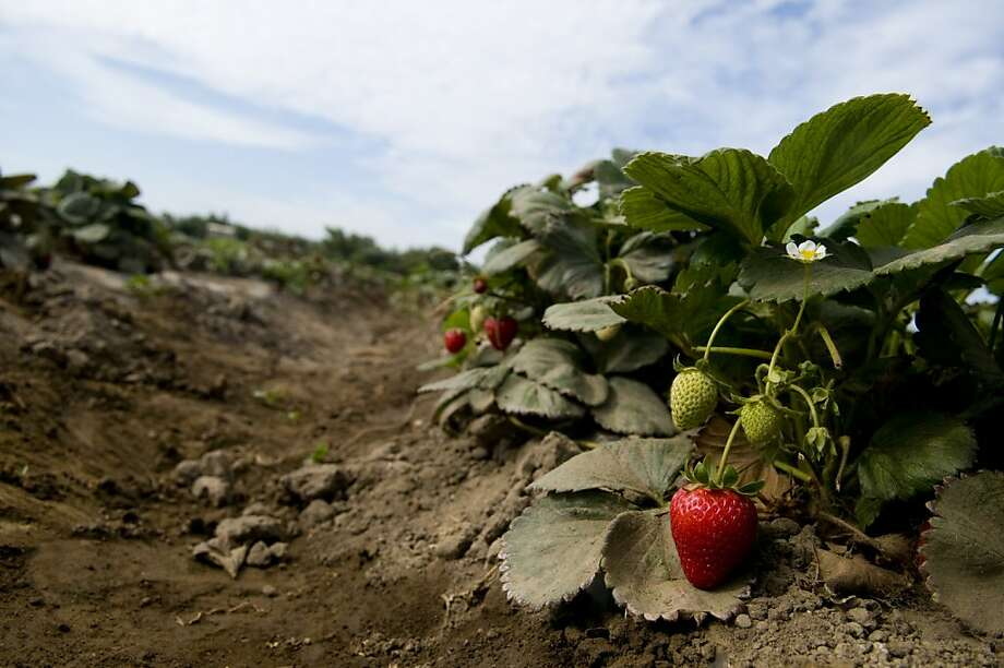 Strawberries grow in a field at Suzie's Farm in San Diego, California, U.S., on Wednesday, July 18, 2012. The USDA-certified organic farm, founded by Robin Taylor and Lucila De Alejandro in 2009, grows over 100 different types of crops per year. Photographer: Sam Hodgson/Bloomberg Photo: Sam Hodgson, Bloomberg
