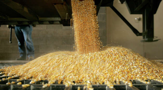 The price of corn, the primary ingredient in livestock feed, hit a record $8.1775 a bushel Monday. Photo: ANDY MANIS / AP
