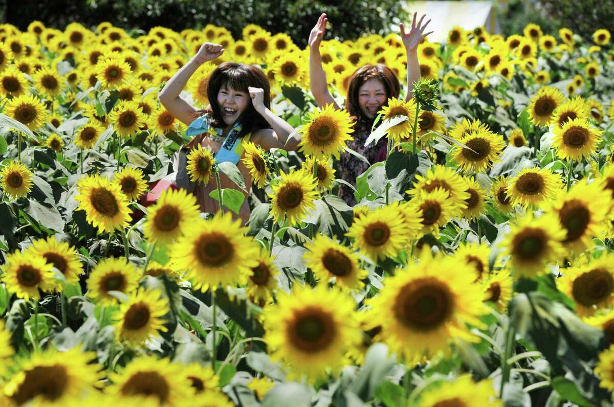 Sunflower Festival, Windsor Brown's Harvest's Sunflower Festival will take place during Saturday and Sunday. Find out more.