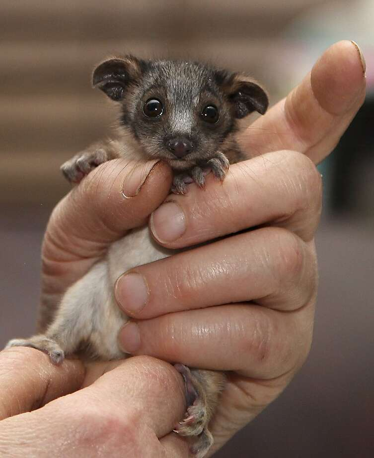 Awesome possum: A wildlife caretaker has a handful of cute to contend with in Sydney. The baby ringtail possum is being hand-raised after its mother was killed by a cat. Photo: Rob Griffith, Associated Press