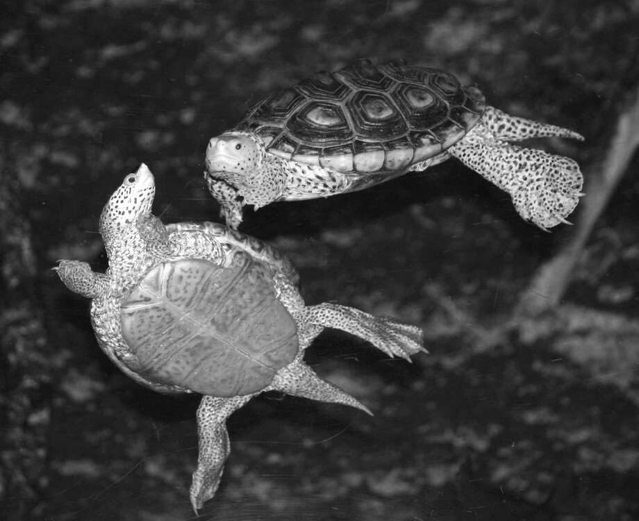 Turtles of Long Island Sound is the subject of the Aug. 5 First Sunday Science program at the Bruce Museum Seaside Center in the Innis Arden Cottage at Greenwich Point Park. Photo: Contributed Photo