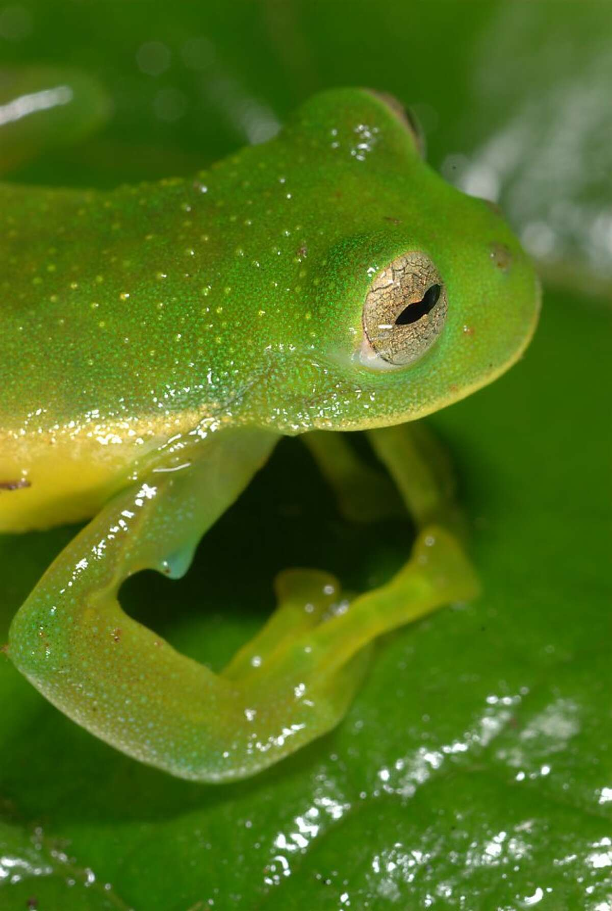 This new species of high-altitude glass frog, Centrolene sabini, in the amphibian family of Centrolnidae, was discovered by Allessandro Catenazzi in the cloud forest of Peru's Manu National Park at an elevation of nearly 10,000 feet. This Peruvian glass frog tadpole, Centrolene sabini, was hatched from eggs laid on the surface of a leafin Peru's Manu National Park..