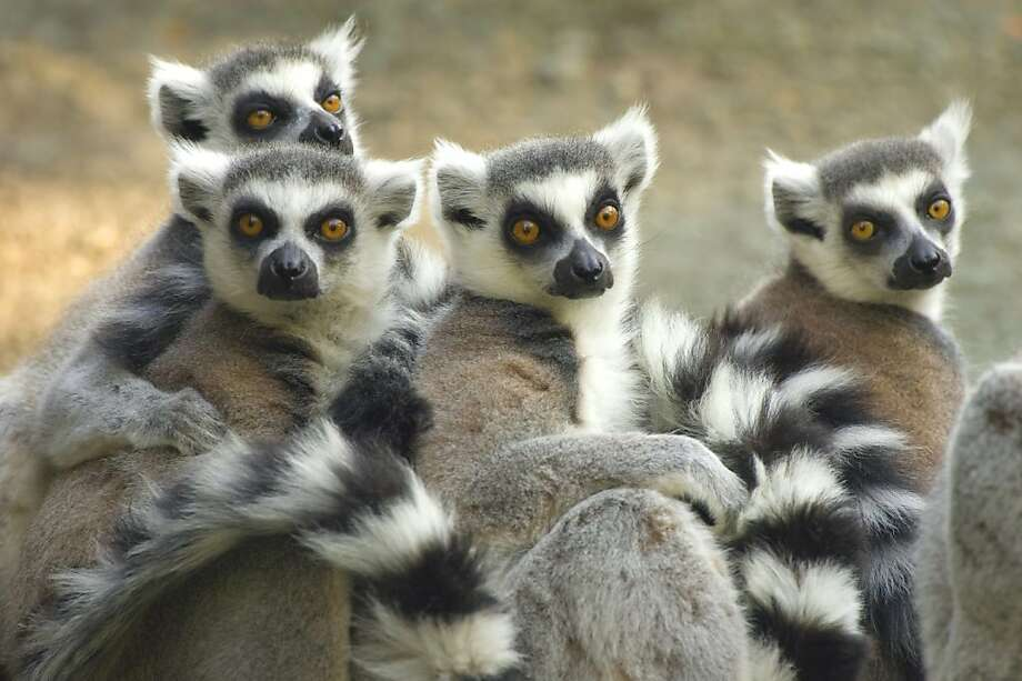 We were up ALL NIGHT watching the Olympics! Look at these circles around our eyes! Thanks a lot, NBC tape delay. (Lemurs, Andasibe-Mantadia National Park in Madagascar.) Photo: Kensington Tours