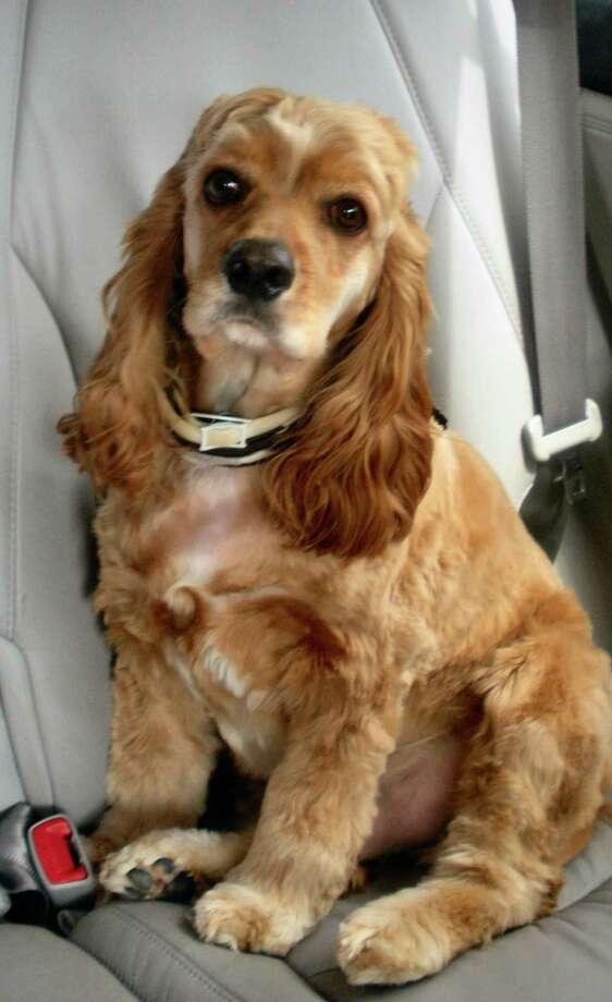 Matisse, spaniel owned by Tony Lara. for pets page Photo: Tony Lara