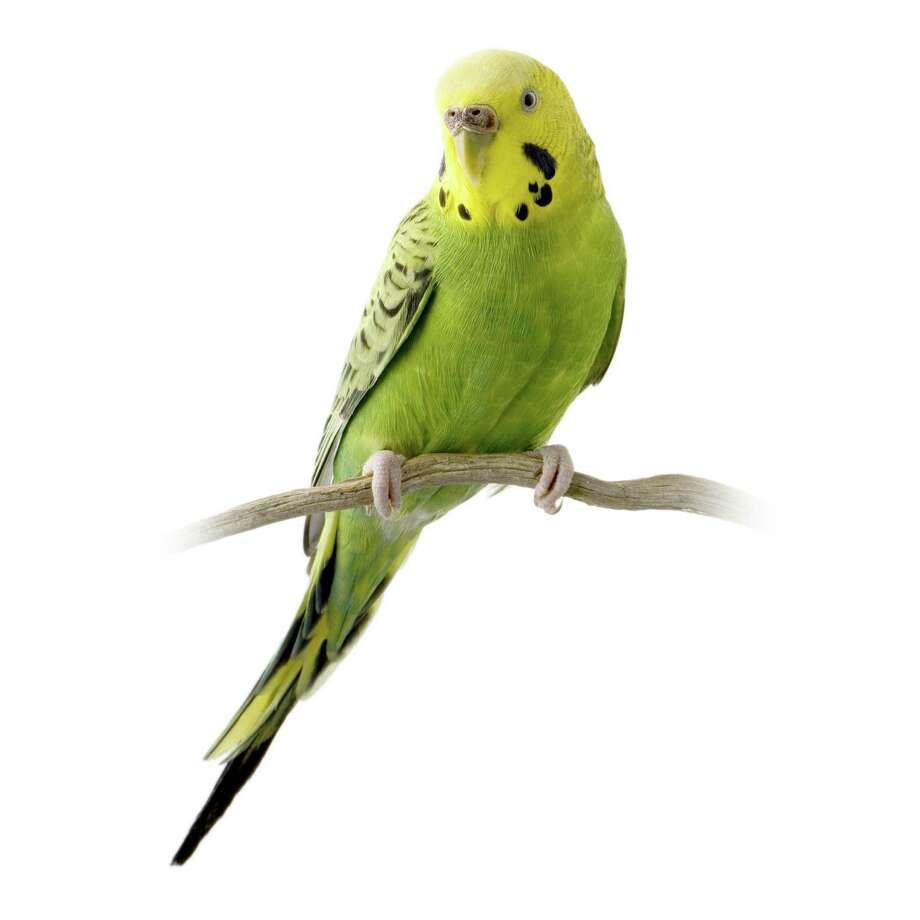 Establishing social bonds with a young parakeet takes patience. Photo: Eric Isselée / handout