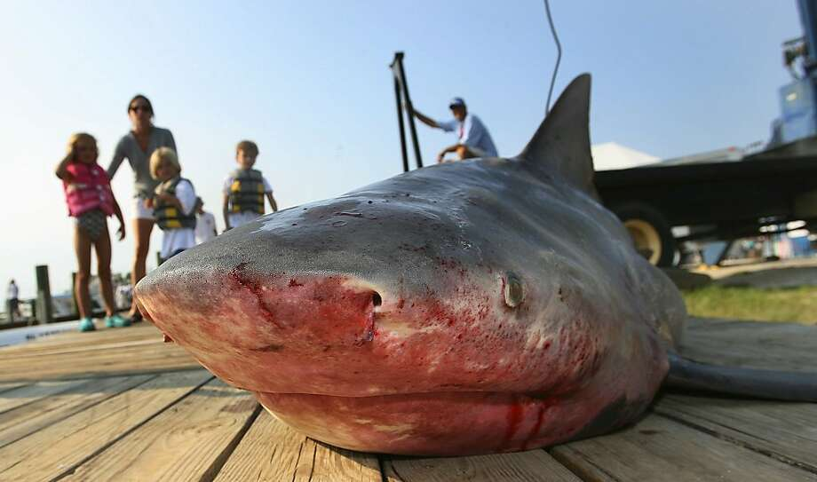FILE - This is a July 22, 2007, file photo of  a 263-pound bull shark caught by Jeremy Powers is displayed J during the final day of the 75th annual Alabama Deep Sea Fishing Rodeo on Dauphin Island, Ala.  France says on Wednesday Aug. 1, 2012  it will pay fishermen who kill bull sharks in waters off the French Indian Ocean island of Reunion, following a spike in shark attacks and the death of a surfer last week. Authorities described the financial incentives as unprecedented for the French-administered island and necessary to encourage shark killings. (AP Photo/Press-Register, G.M. Andrews, File) Photo: G.M. Andrews, Associated Press