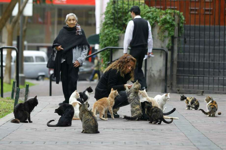 Lita Velasquez feeds cats in the central park of Lima's upscale seaside Miraflores district, in Peru, Wednesday, Aug. 2, 2012. About 120 felines populate the park. Some of the cats descended from a pair municipal authorities introduced in the late 1990s to control a rat infestation. After a local TV feature this week focused attention on the cat colony, a top official at Peru's environmental health agency announced a commission would be created to determine whether they posed a health risk. A member of Miraflores' Voluntary Feline Defense Group called the announcement an overreaction, saying the cats get constant veterinarian attention. (AP Photo/Martin Mejia) Photo: Martin Mejia, Associated Press / AP