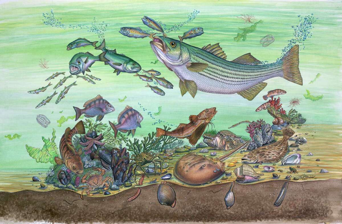 JAN CHRISTOPHER PORINCHAK Kings Park, New York, USA Life Under the Surface Striped Bass (Morone saxatilis) Mixed media (pen & ink, watercolor) on illustration board, 2011 38 x 24 in (96.5 x 60.9 cm) (Courtesy State Museum)