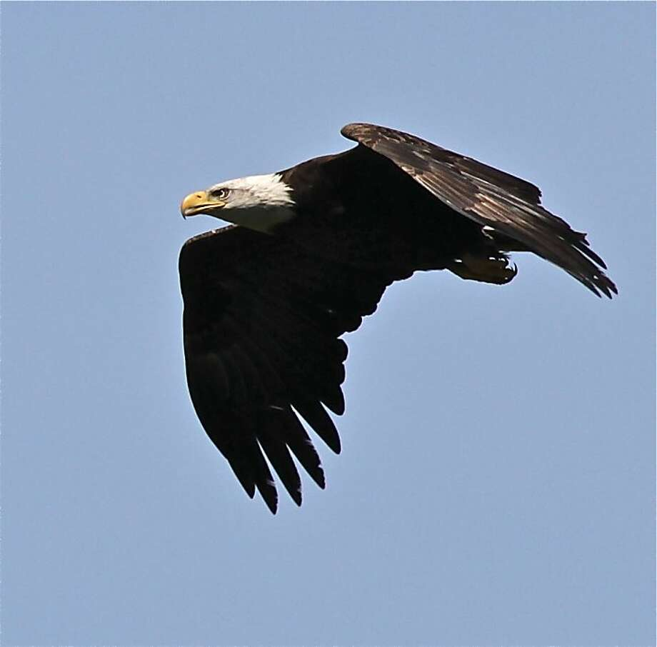 A bald eagle, above, flies over Anthony Chabot Regional Park, where eagles have nested the past two years. Photo: Courtesy Mary Malec