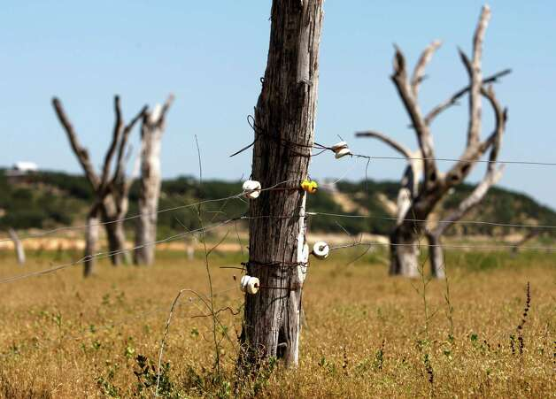 Dead trees, seen in Thursday Aug. 2, 2012, normally covered by dozens of feet of Medina Lake water stand behind an electric fence a local rancher has erected on the dry lake bottom to graze livestock. The Texas Water Development Board's website reports the lake is 59.59 feet low and is currently only 16.09 percent full. Photo: William Luther, San Antonio Express-News / © 2012 San Antonio Express-News