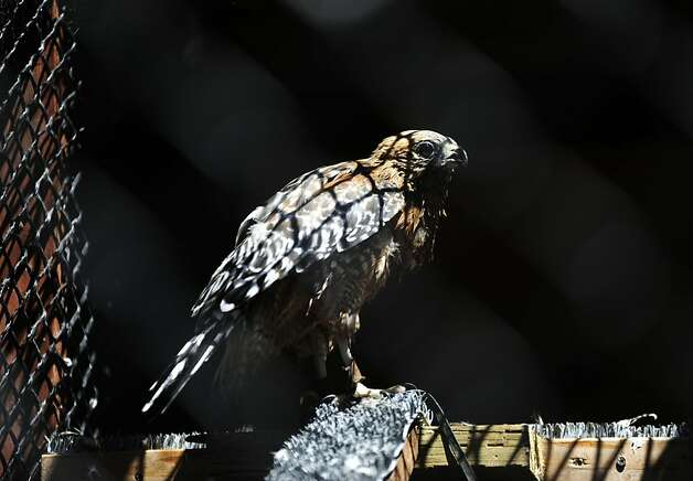 Red shouldered hawk, Phoenix, is photographed at his cage at WildCare on Thursday, Aug 2, 2012 in San Rafael, Calif. Photo: Yue Wu, The Chronicle