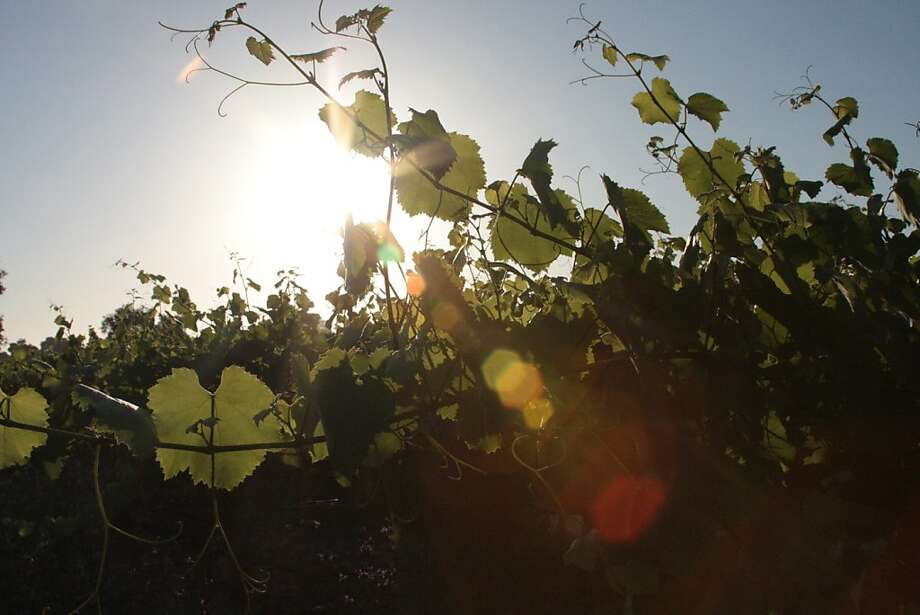 Vines at in Santa Barbara County are sometimes left to grow untrained in order to slow down grape sugar accumulation. Photo: Jon Bonné, The Chronicle