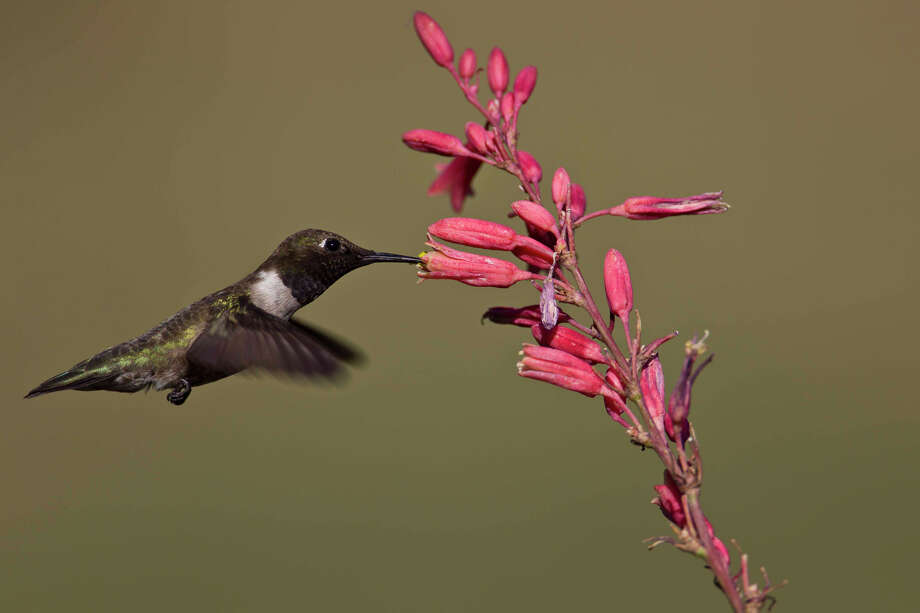 Native plants at the Gage Gardens attract a variety of birds, including black-chinned hummingbirds. Photo: Kathy Adams Clark / Kathy Adams Clark/KAC Productions