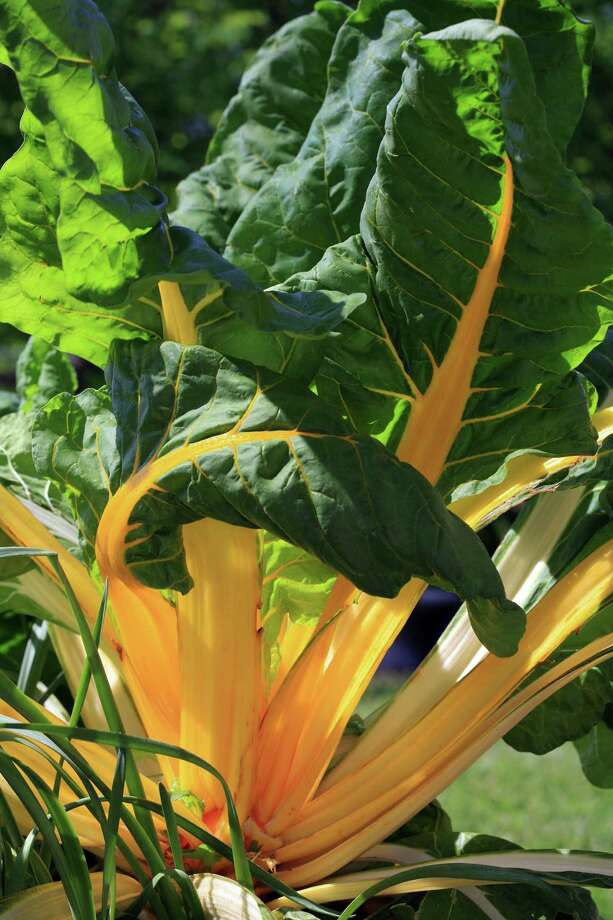 'Orange Fantasia' Swiss chard Photo: William D. Adams / William D. Adams (c) 2006