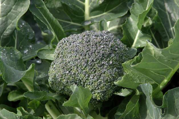 'Gypsy' broccoli Photo: William D. Adams / William D. Adams (c) 2006