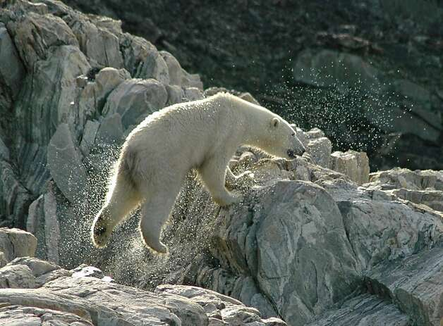 A polar bear leaps on coastal rocks in Torngat Mountains National Park. Photo: Bill Fink, Special To The Chronicle