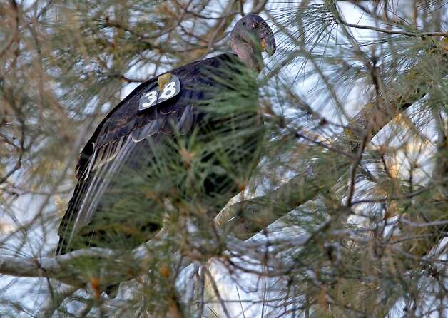 A California Condor sits in a pine tree in the High Peaks area of the Pinnacles National Monument, in central California, on Wednesday August 1, 2012. Pinnacles would become the 59th U.S. national park under a bill that cleared the House on Tuesday with bipartisan support. The bill creating Pinnacles National Park is aimed at raising the national profile of the site, named a monument by President Theodore Roosevelt in 1908. Photo: Michael Macor, The Chronicle
