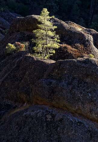 A lone pine grows from the rocks of the High Peaks area, at Pinnacles National Monument, on Wednesday August 1, 2012.  The central California monument would become the 59th U.S. national park under a bill that cleared the House on Tuesday with bipartisan support. The bill creating Pinnacles National Park is aimed at raising the national profile of the site, named a monument by President Theodore Roosevelt in 1908. Photo: Michael Macor, The Chronicle
