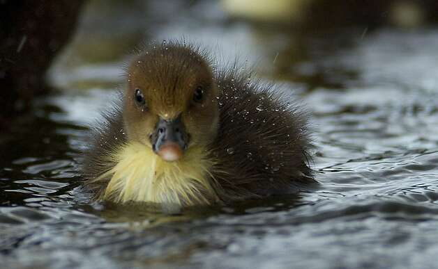 A moscovy duckling swims at a pond in Pembroke Pines, Fla. Thursday, Aug. 2, 2012 with its back covered in rain drops from an afternoon thunderstorm. Photo: J Pat Carter, Associated Press