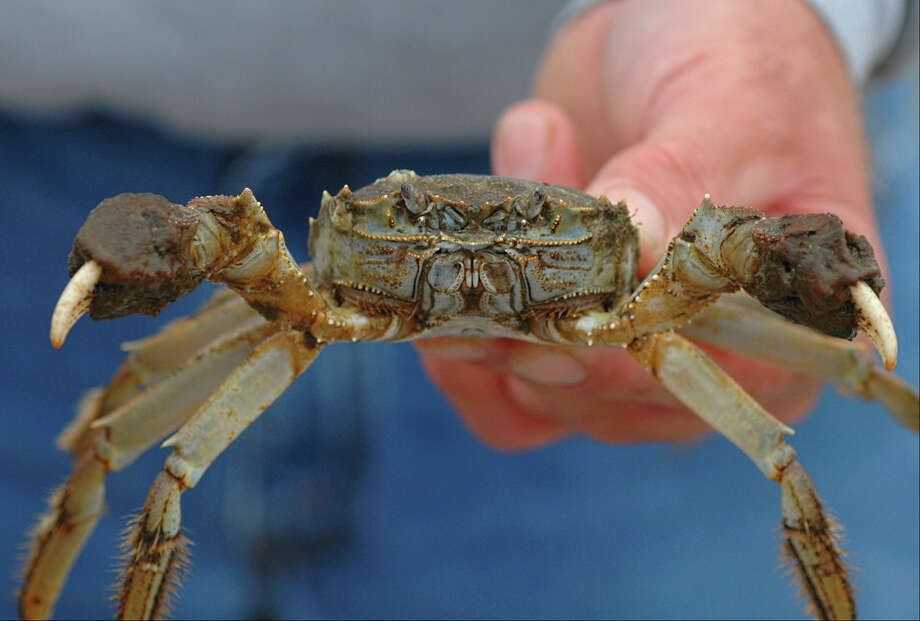 This Chinese mitten crab, a highly invasive, non-native species, was captured at Chesapeake Beach, Md., in 2007. A juvenile Chinese mitten crab was recently found in Greenwich, the first confirmed report of the creature in Connecticut waters.  (Image courtesy of the Smithsonian Environmental Research Center).