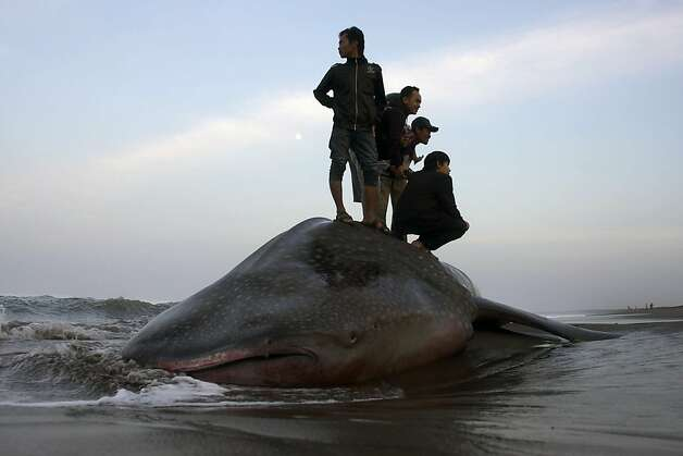 """This photo taken on August 3, 2012 shows villagers posing for photographs as they stand on a dead whale shark, the third one washed ashore in Indonesia in two weeks, at Parangkusumo beach, Yogyakarta. Whale sharks, the world's largest fish, are classified as """"vulnerable"""" by the International Union for the Conservation of Nature (IUCN). Photo: -, AFP/Getty Images / SF"""