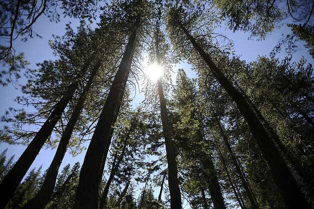 Large trees are seen in the Donner Summit area on Friday August 3rd, 2012  The Trust for Public Land secured a deal to buy 3,000 acres at Donner Summit saving it from a 950-home development. Photo: Michael Short, Special To The Chronicle