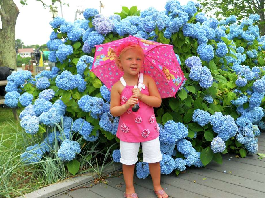 It looks like it's raining hydrangeas. Ava Kinsella of Clifton Park enjoys the beautiful hydrangeas on Cape Cod during a visit this year with her family. (Aimee Kinsella)