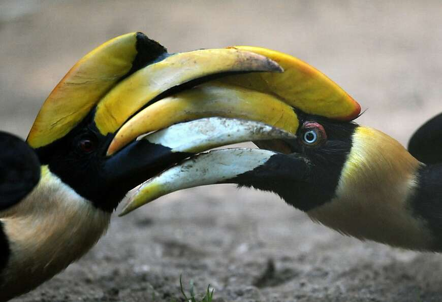 Call it a draw? Great Hornbills lock horns - and bills - during a skirmish at the Troja Zoo i