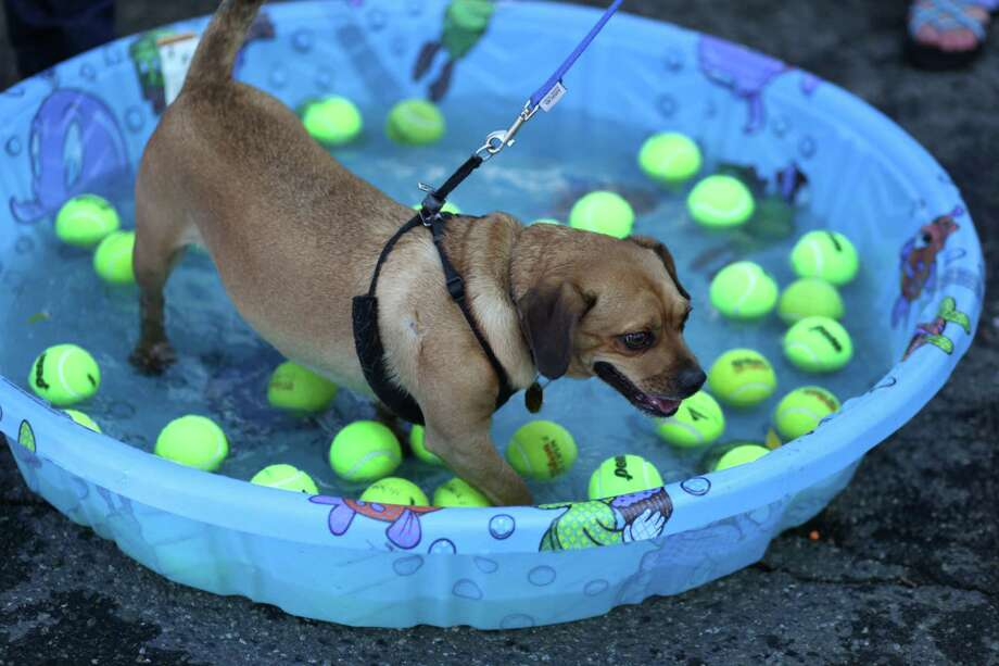 Hitch bobs for tennis balls during Lake City's 70th annual Pioneer Days street festival. The annual festival includes a street fair, salmon bake and parade. Photographed on Saturday, August 4, 2012. Photo: JOSHUA TRUJILLO / SEATTLEPI.COM