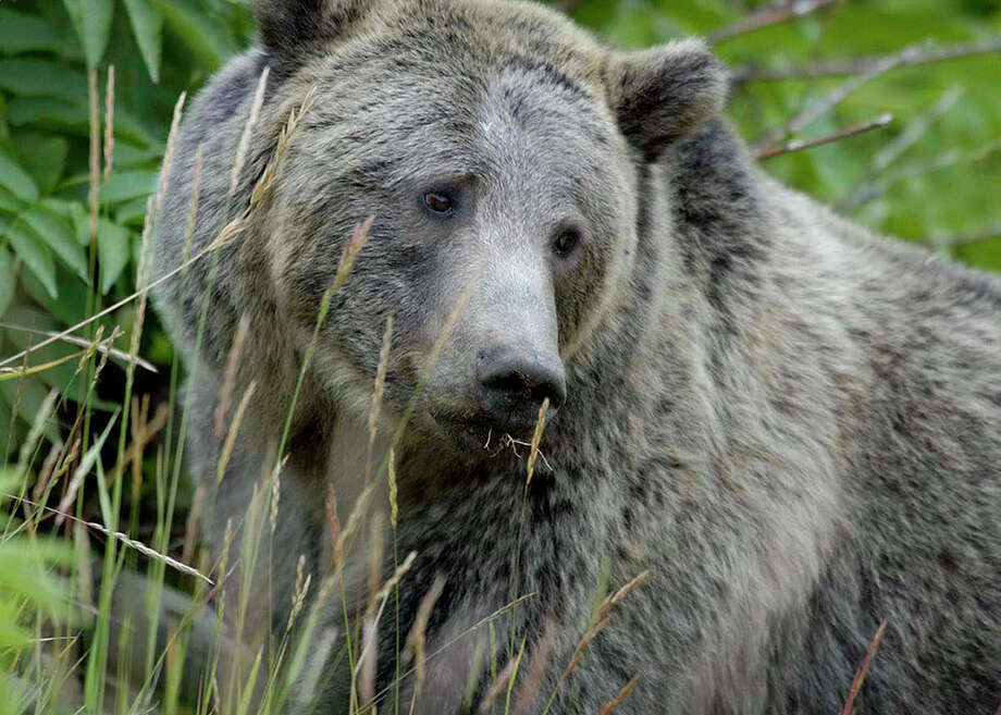 The recovery of the Yellowstone grizzly bear is considered to be an Endangered Species Act success story. Photo: Contributed Photo