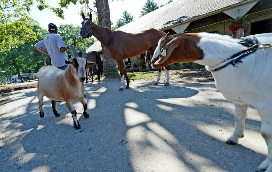 Billy, the goat, left and B.G. the goat have their first meeting near trainer Dominic Galluscio's barn at the Oklahoma Training Center in Saratoga Springs, N.Y. August 7, 2012.    (Skip Dickstein/Times Union) Photo: Skip Dickstein