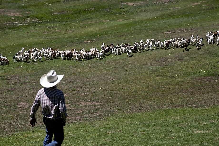 Blayne Morris follows the 300 goats on the Presidio Golf Course in San Francisco, Calif. on Tuesday, Aug 07, 2012. Photo: Sonja Och, The Chronicle