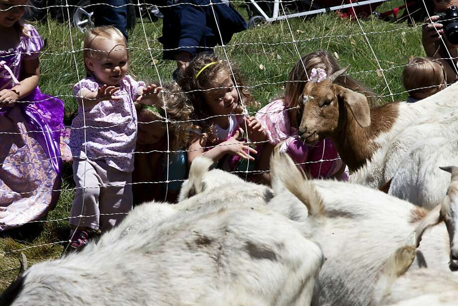 l-r: Gwen Patten, Hazel Favero, Eliza Munk, Zoie Munk and Emma Patten are trying to pet the goats at the Presidio Golf Course in San Francisco, Calif. on Tuesday, Aug 07, 2012. Photo: Sonja Och, The Chronicle